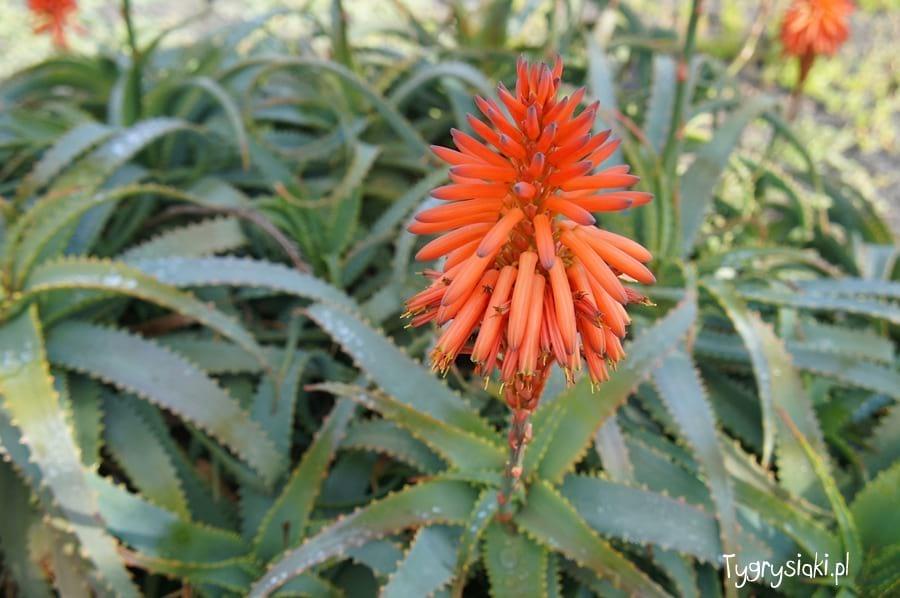 Kwiat aloesu