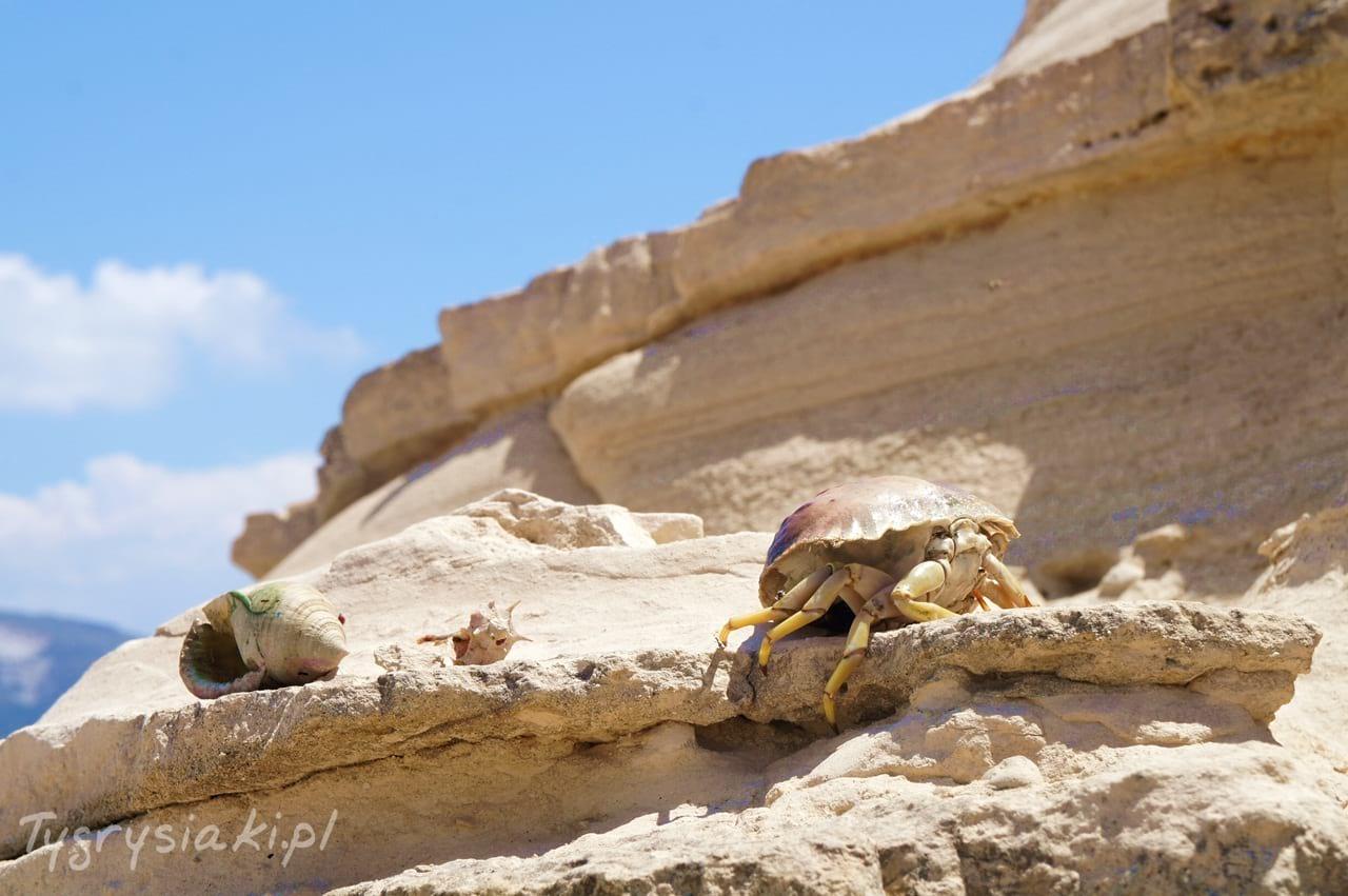 zaktnyhos-krab-muszle