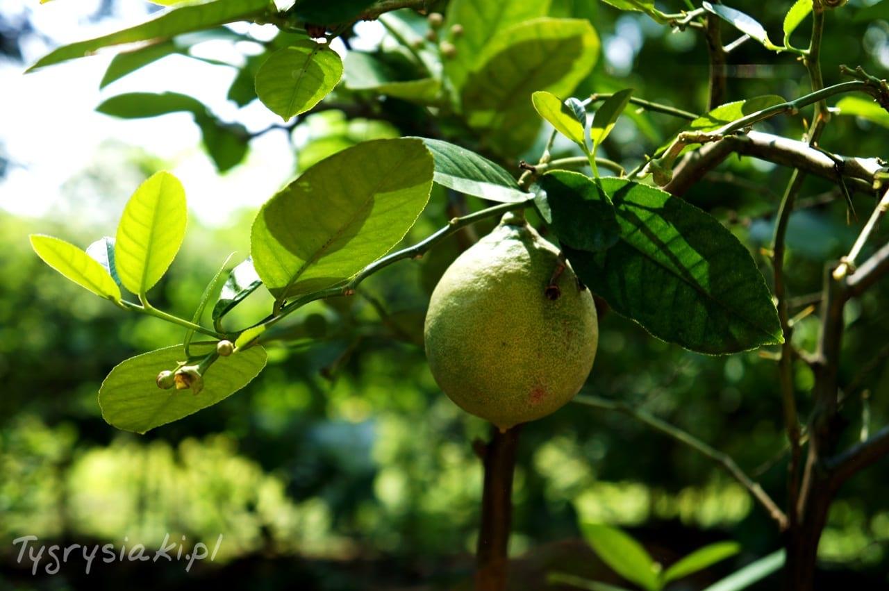 ogrod-biblijny-cytryna