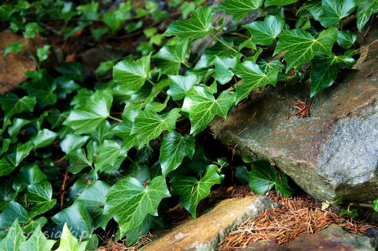 ogrod-biblijny-bluszcz